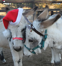 Holiday Miniature Donkey