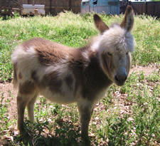 Lolita - Miniature donkey for sale