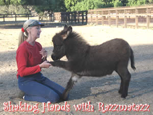 Shaking Hands with Razzmatazz, a miniature donkey