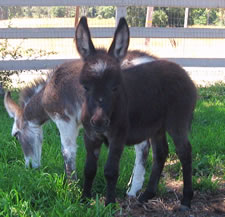 Seein' Spots Miniature Donkeys - Rock Star
