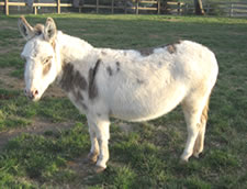 Arrow Creek Rosebud - Miniature Donkey