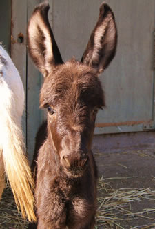 Satchmo - Miniature Donkey for sale in California