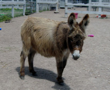 Fifty's Mon Cherie - Miniature Donkey