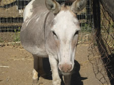 Shirley - Miniature Donkey