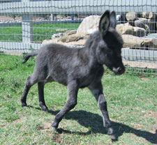 Smokey - Miniature Donkey