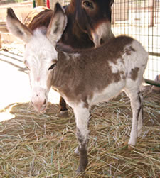 Seein' Spots Miniature Donkeys - Taylor Swift