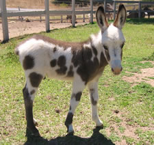 Seein' Spots Miniature Donkeys - Valentino